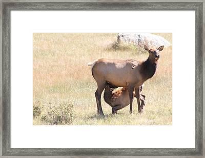 Baby Elk Nursing Framed Print by David Wilkinson