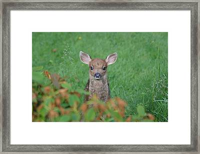 Baby Fawn In Yard Framed Print by Kym Backland