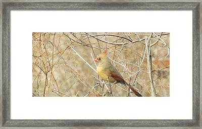 Baby Female Cardinal Framed Print