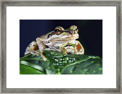 Baby Frog And Mama Frog Framed Print