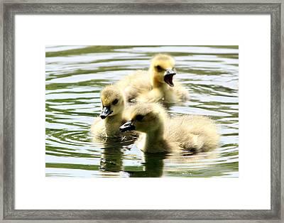Baby Geese Framed Print by Diane Rada