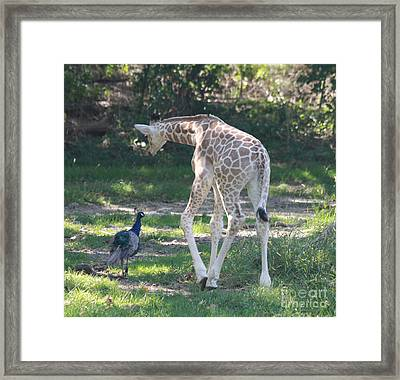 Baby Giraffe And Peacock Out For A Walk Framed Print by John Telfer