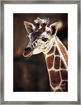 Baby Giraffe Framed Print by John Rizzuto