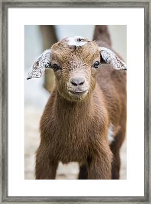 Baby Goat Framed Print by Shelby  Young