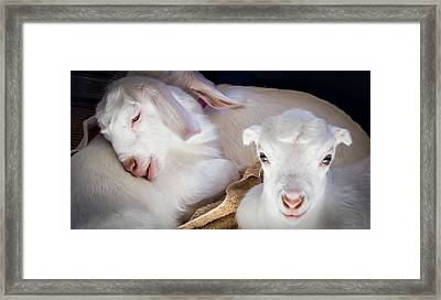 Baby Goats Napping Framed Print