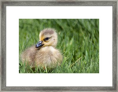 Baby Goose Framed Print by Optical Playground By MP Ray