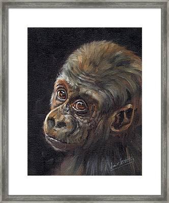 Baby Gorilla Framed Print by David Stribbling