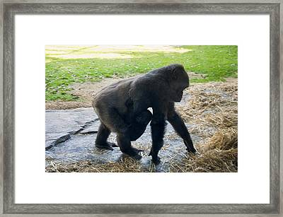 Baby Gorilla On The Move With Mom Framed Print