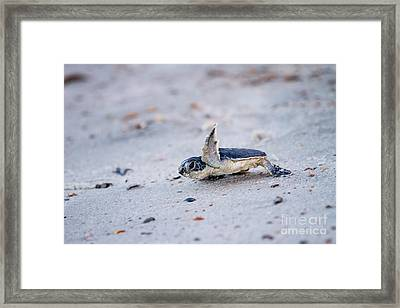 Baby Green Sea Turtle  Framed Print by Dawna  Moore Photography