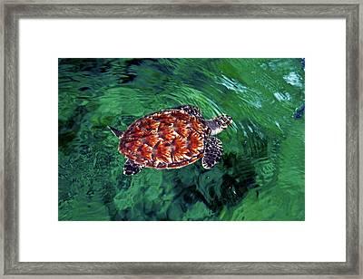 Baby Hawksbill Turtle (eretmochelys Framed Print