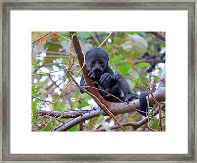 Baby Howler Monkey  Framed Print by Melanie Beckler