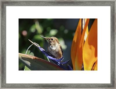 Baby Hummingbird On Flower Framed Print