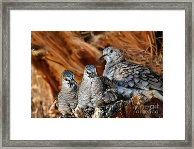 Baby Inca Doves Framed Print by Robert Bales