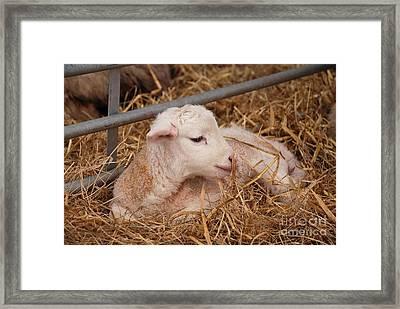 Baby Lamb Framed Print