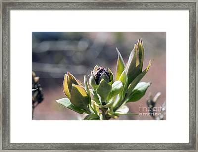 Baby Lilac Framed Print