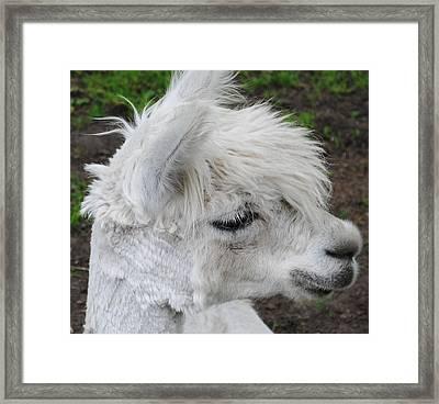 Baby Llama Framed Print by Ellen Henneke