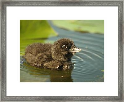 Framed Print featuring the photograph Baby Loon by James Peterson