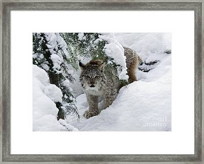 Baby Lynx Hiding In A Snowy Pine Forest Framed Print