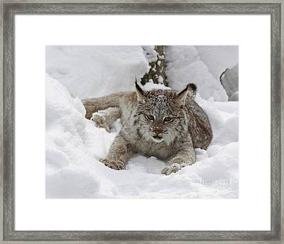 Baby Lynx In A Winter Snow Storm Framed Print by Inspired Nature Photography Fine Art Photography