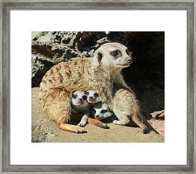 Baby Meerkats View The World Framed Print