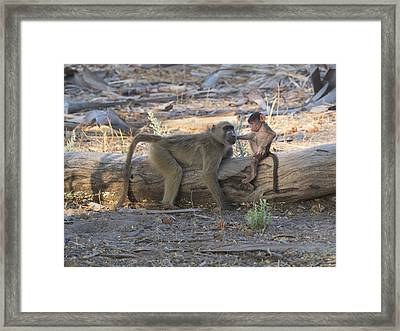 Baby Monkey With Its Mother, Okavango Framed Print by Panoramic Images