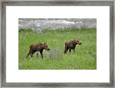 Baby Moose On The Banks Of The Gallatin Framed Print by Bruce Gourley