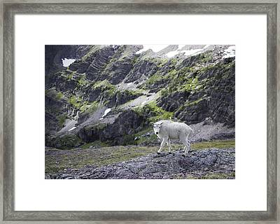 Baby Mountain Goat At Comeau Pass Framed Print