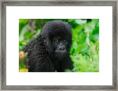 Baby Mountain Gorilla Framed Print
