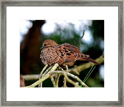 Baby Mourning Dove Framed Print by Mary Beth Landis