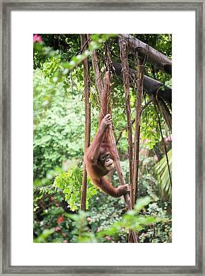 Baby Orangutan Framed Print by Pan Xunbin