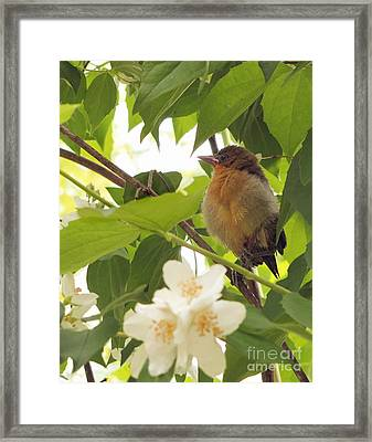 Baby Oriole Framed Print by Marilyn Smith