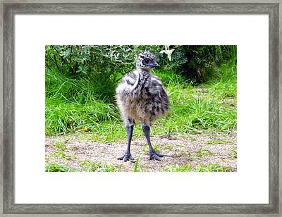 Baby Ostrich In The City Framed Print by Ashley Fortier