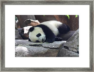 Framed Print featuring the photograph Baby Panda by John Telfer