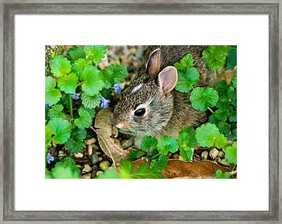 Baby Rabbit Framed Print