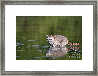 Baby Raccoon In Green Water Framed Print by Martha Marks
