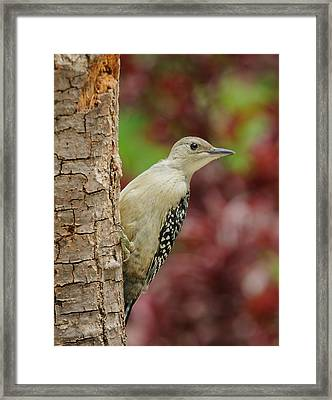 Baby Red Bellied Woodpecker Framed Print by Lara Ellis