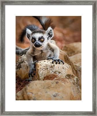 Baby Ringtail Lemur Framed Print by Linda Villers