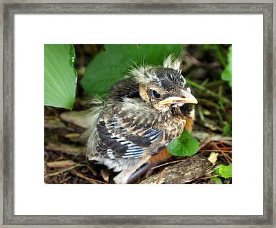 Framed Print featuring the photograph Baby Robin Among The Hosta's 2 by Deborah Fay