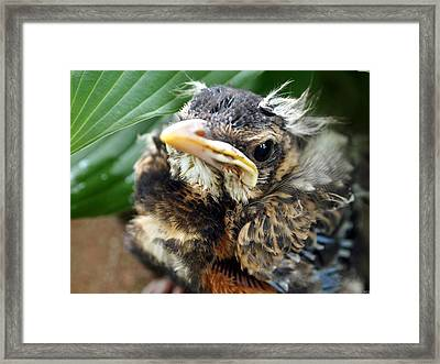 Framed Print featuring the photograph Baby Robin Among The Hosta's by Deborah Fay