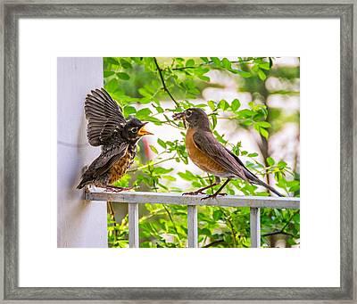 Baby Robin - Feed Me Mom Framed Print