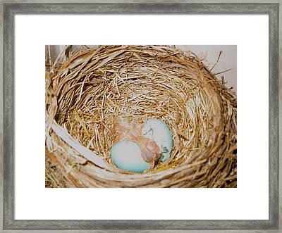 Baby Robin Framed Print by Kristine Bogdanovich
