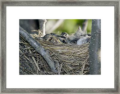 Baby Robins 2 Framed Print by David Lester