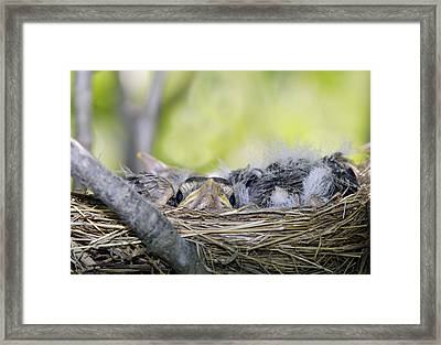 Framed Print featuring the photograph Baby Robins by David Lester