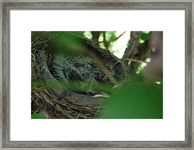 Framed Print featuring the photograph Baby Robins Nesting by Ramona Whiteaker