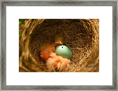 Baby Robins2 Framed Print by Loni Collins