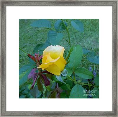 Baby Rose Of Texas Framed Print