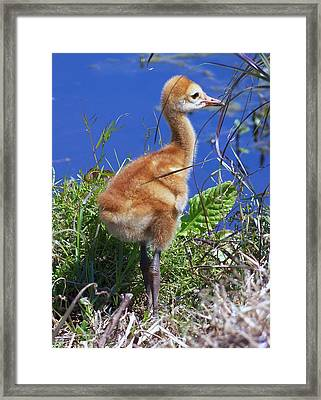 Framed Print featuring the photograph Baby Sandhill Crane 064  by Chris Mercer