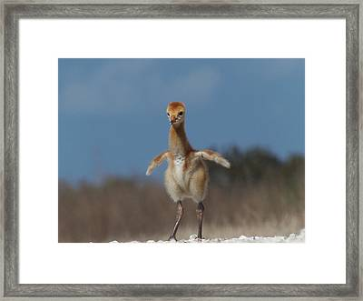 Framed Print featuring the photograph Baby Sandhill Crane 071 by Chris Mercer