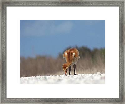 Framed Print featuring the photograph Baby Sandhill Crane 072 by Chris Mercer