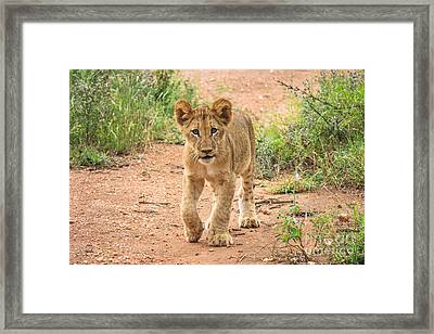 Baby Series Lion Framed Print